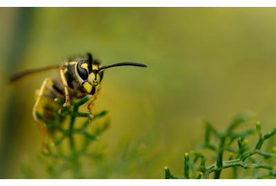 Let op: vermijd deze 7 stekende insecten in Nederland